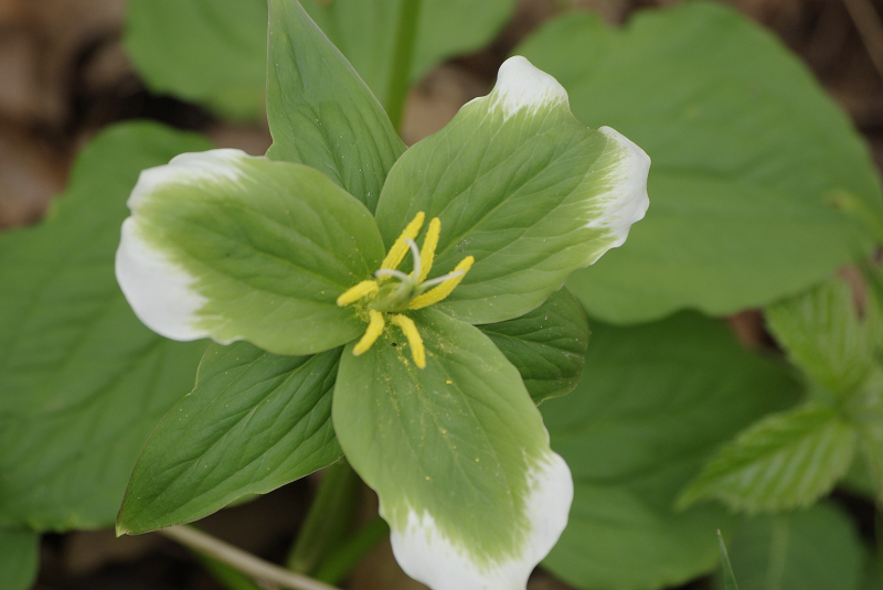 Yellow trilliums logic astronomy science and ideas too trillium green thick gp1005 044 mightylinksfo